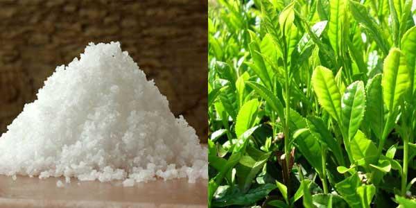 Bài thuốc trị bệnh từ nước trà xanh và muối