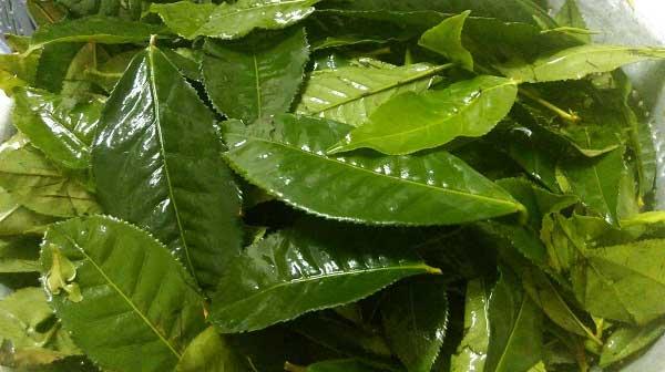 Điều trị vảy nến bằng lá trà xanh