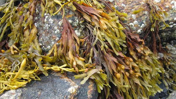 tảo bẹ (polysaccharides